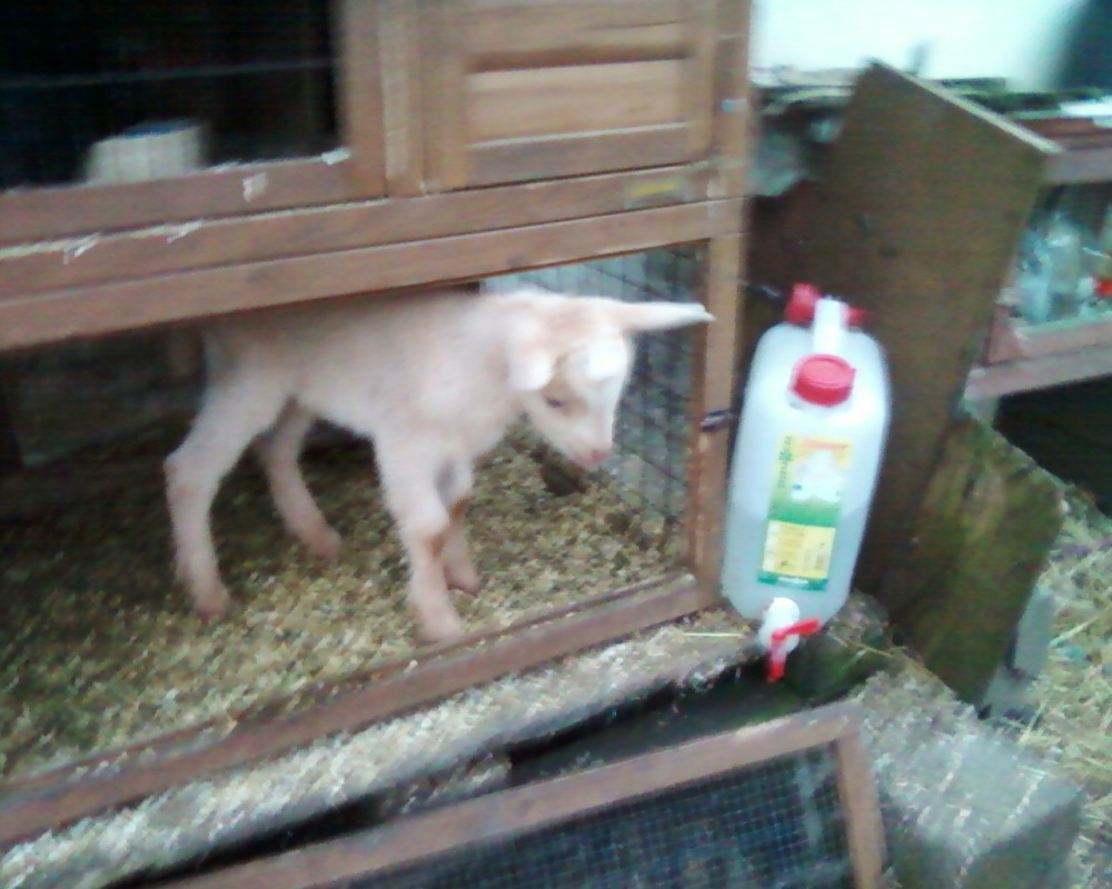 goat kid in rabbit hutch